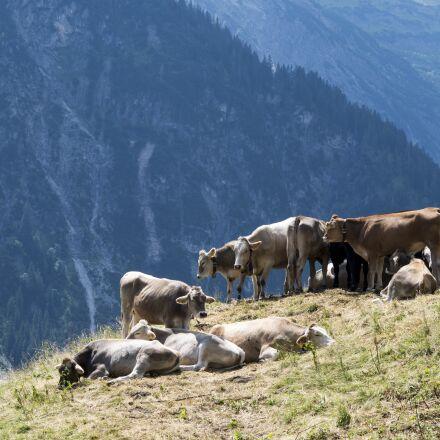 austria, cows, alpine meadow, Pentax K-30