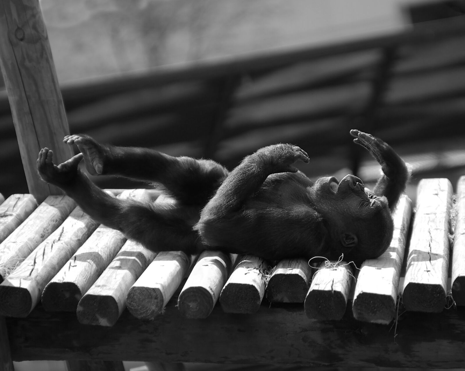 "Pentax K10D sample photo. ""Baby gorilla lying down"" photography"