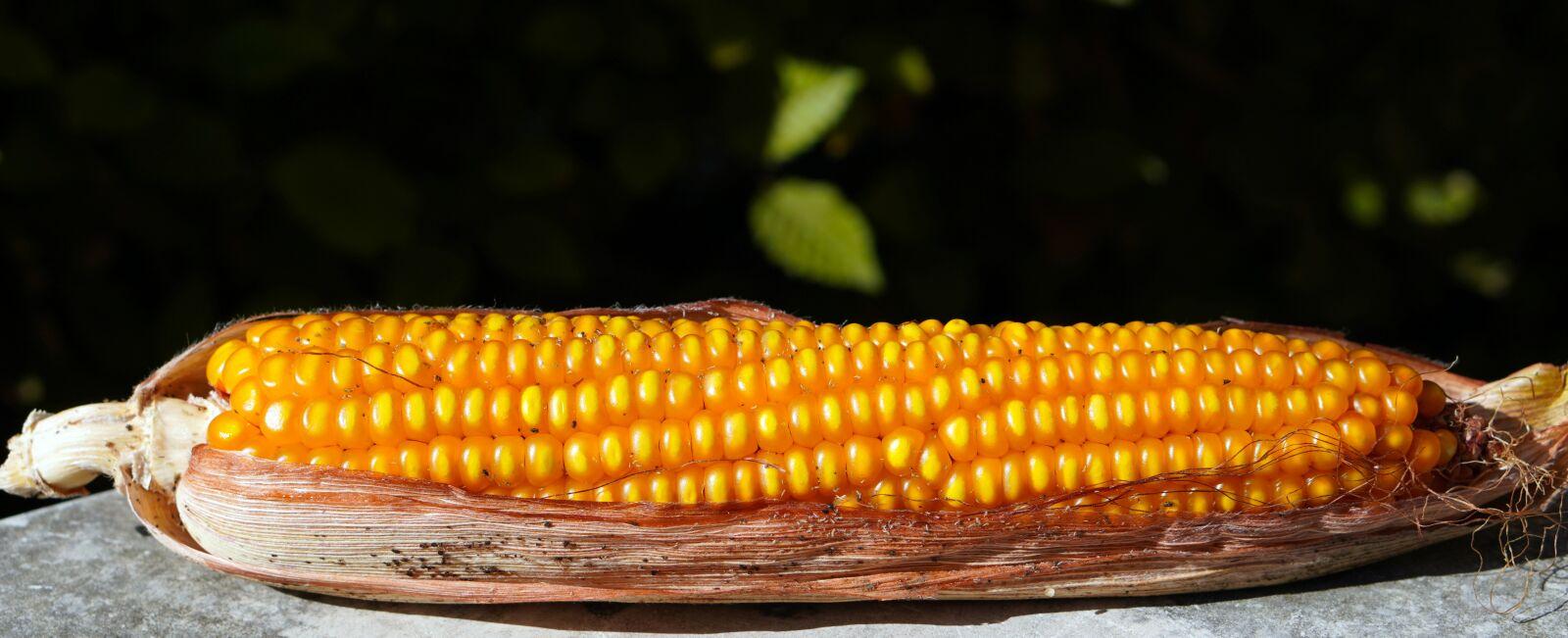 "Sony a6400 sample photo. ""Corn, corn on the"" photography"