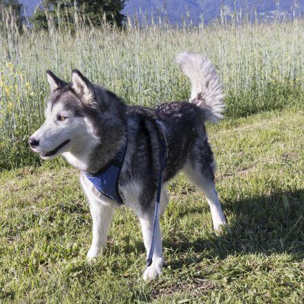 dog, husky, young dog, Canon EOS M6