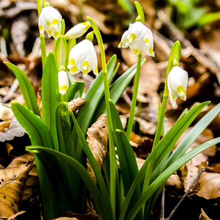 snowflake, flower, plant, Olympus E-5