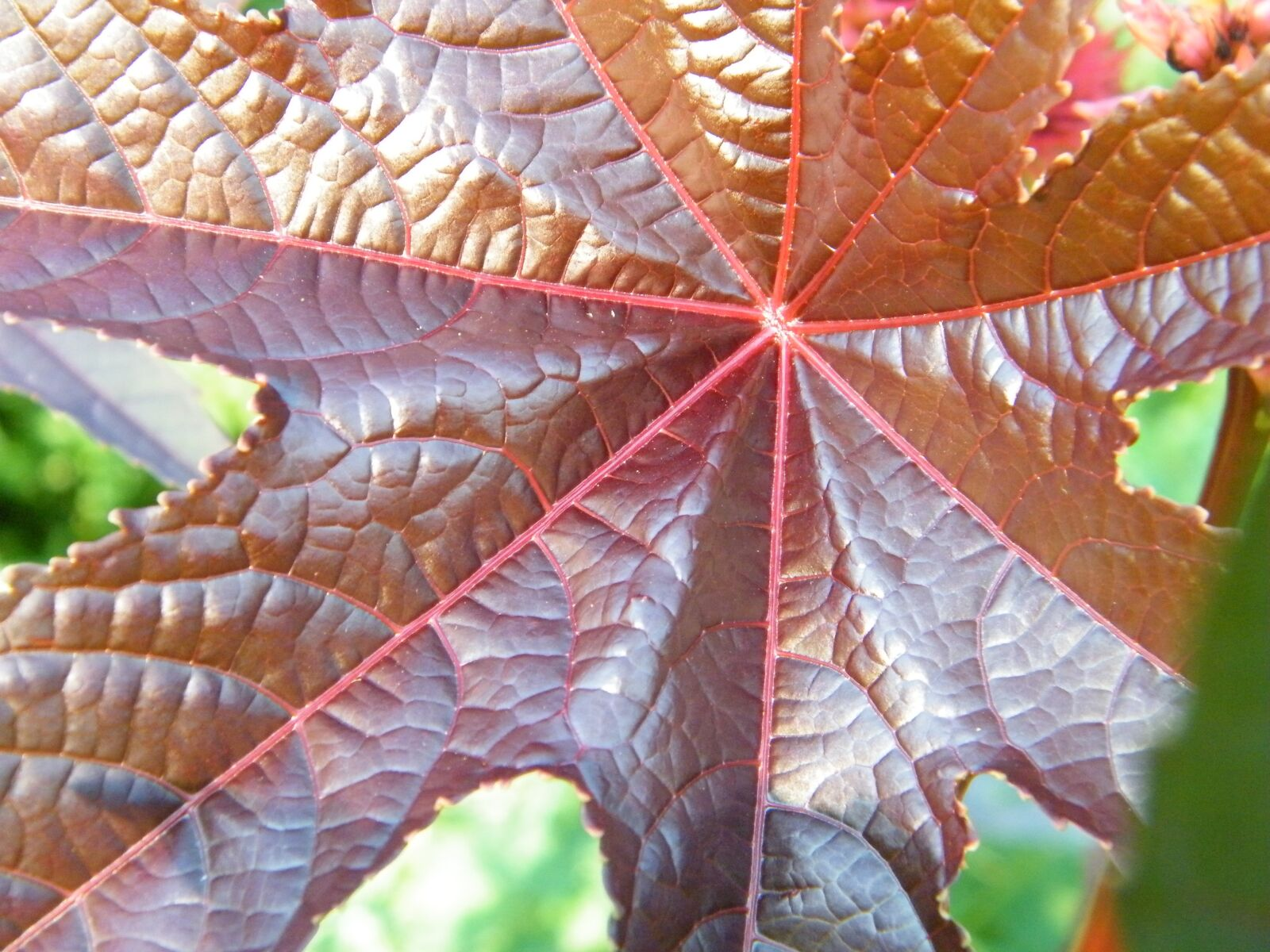 """Fujifilm FinePix S2000HD sample photo. """"Maple, leaf, red"""" photography"""