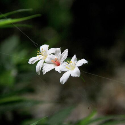 tung flowers, white, playboy, Canon EOS 7D
