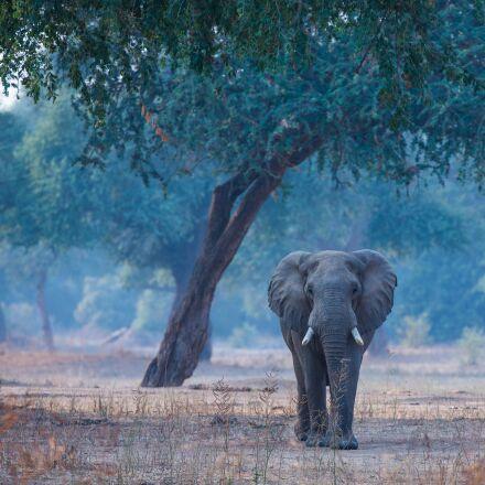 elephant, africa, animal, Canon EOS 5D MARK III