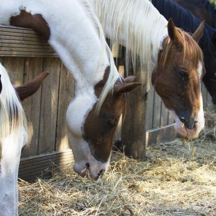 horses, animal, equestrian, Canon EOS 550D