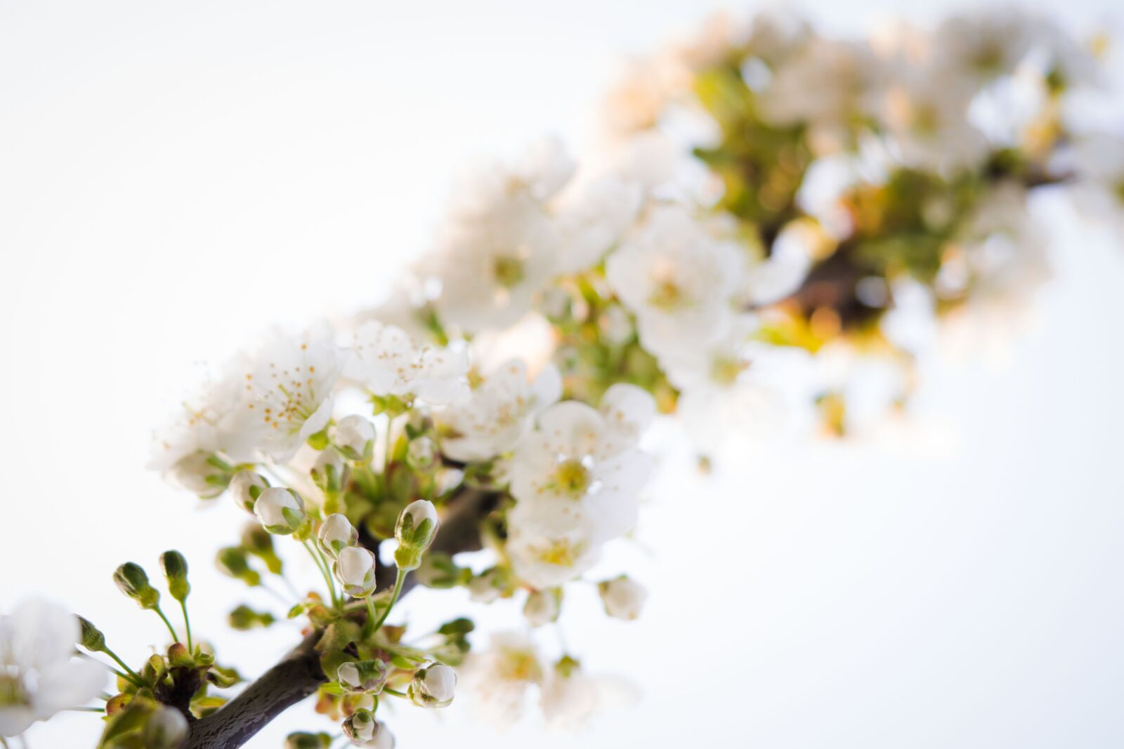 """Sony a6000 sample photo. """"Cherry blossoms, flowers, spring"""" photography"""