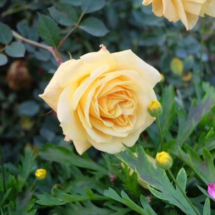 flower, plant, nature, Fujifilm X-A1