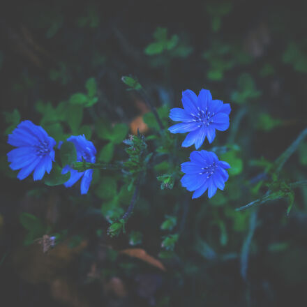 bloom, blooming, blossom, blue, Nikon D5300