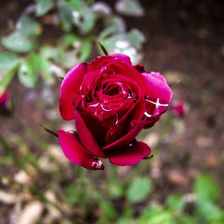 rose, red, flower, Fujifilm FinePix S100FS
