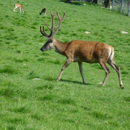 grass, meadow, hirsch, Sony DSC-V3