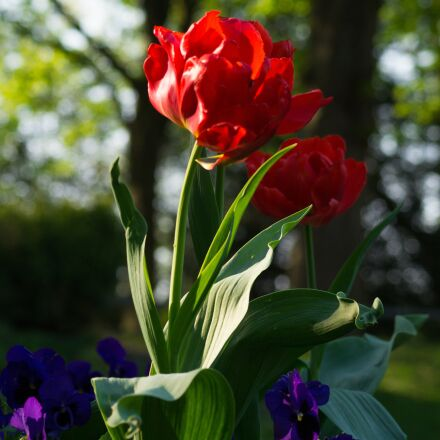 tulip, flower, red, Sony SLT-A58