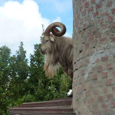 goat, tower, animals, Panasonic DMC-TZ6