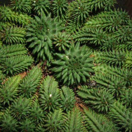 euphorbia, succulent, plant, Fujifilm FinePix E550