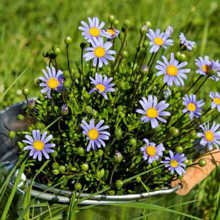 daisies, flowers, bloom, Fujifilm X-T10