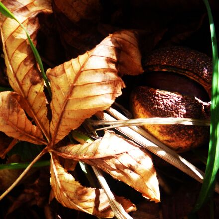 chestnut, sheet, autumn, Panasonic DMC-FS40