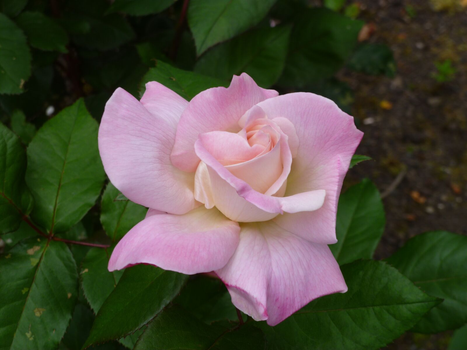 "Panasonic DMC-FH20 sample photo. ""Rose, flower, bloom"" photography"