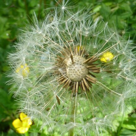 dandelion, faded, umbrella, Panasonic DMC-TZ31