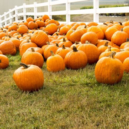 pumpkin patch, pumpkins, growing, Canon EOS REBEL T3I