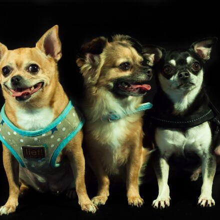 dogs, calhoun, three, Canon EOS 5D MARK II