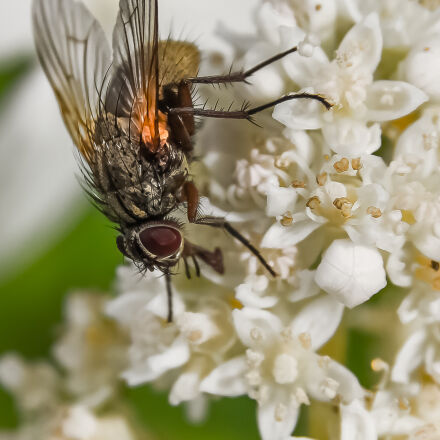fly, hydrangea, Canon EOS 7D