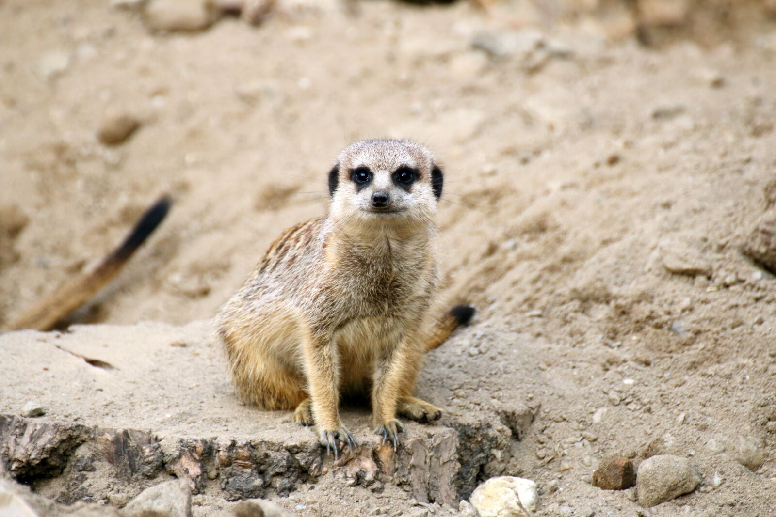 "Canon EOS 70D sample photo. ""Meerkat, animal, wildlife"" photography"