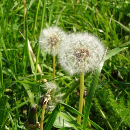 nature, dandelion, wild flower, Sony DSC-WX200