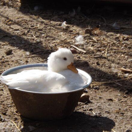 duck, animal, water, Fujifilm FinePix S4500