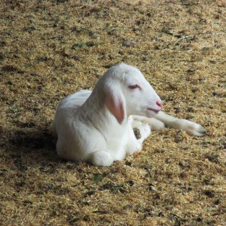 animal, goat, nature, Canon POWERSHOT ELPH 135