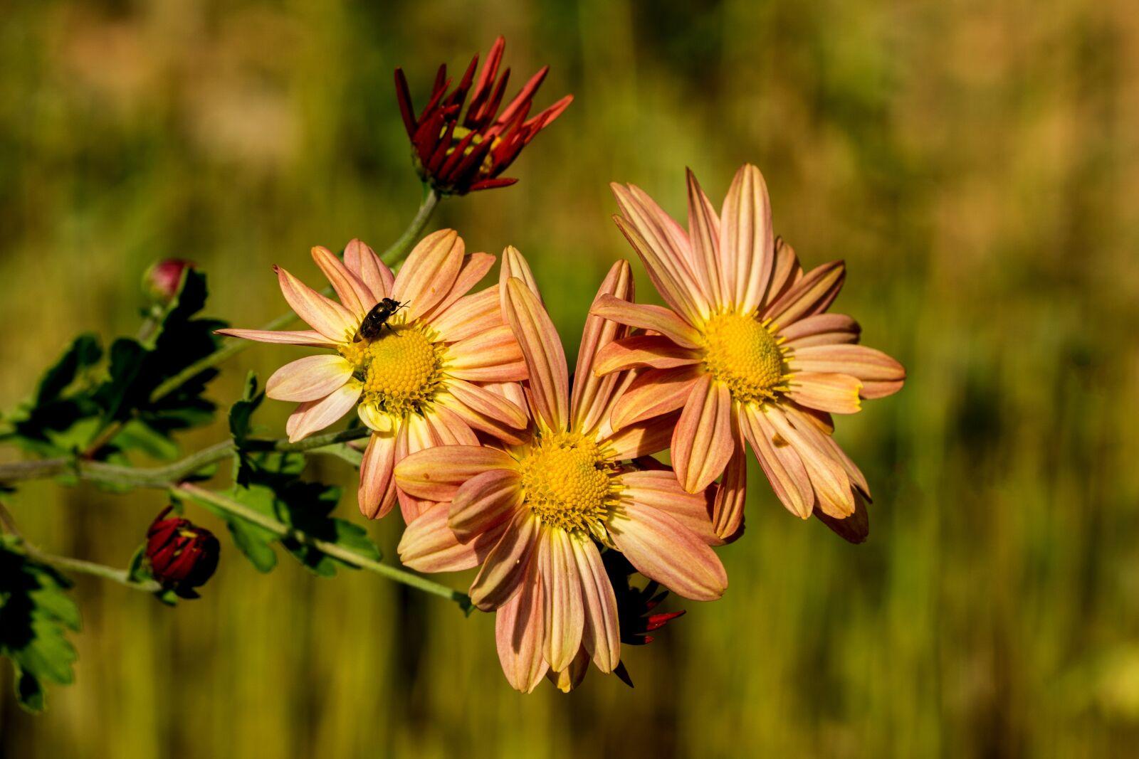"Sony a6000 sample photo. ""Flowers, paris, macro"" photography"