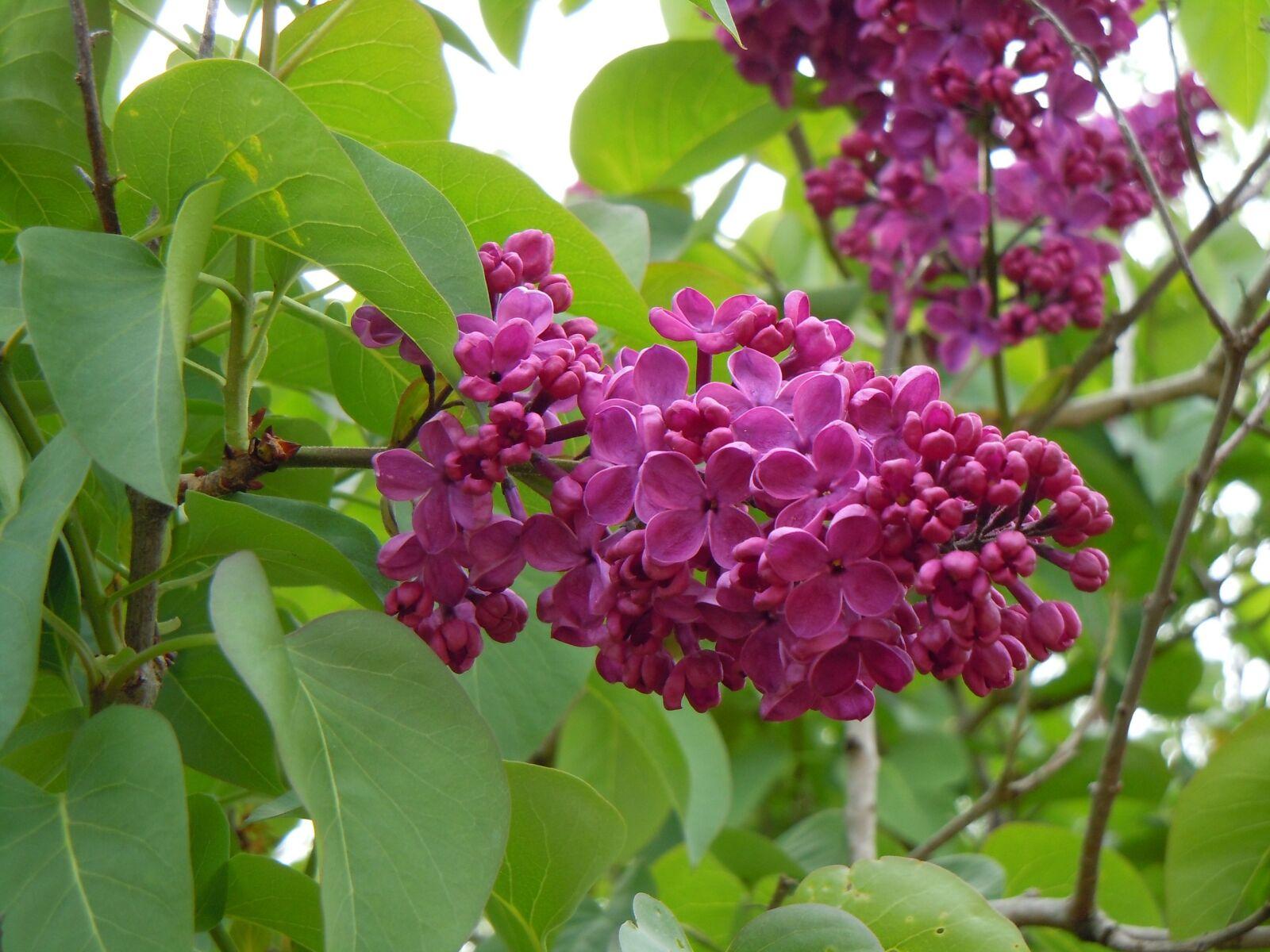 "Nikon Coolpix S8000 sample photo. ""Pink, wisteria, plant"" photography"