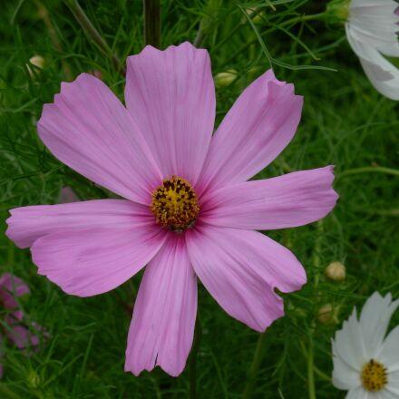 summer flowers, cosmos pink, Nikon COOLPIX L5
