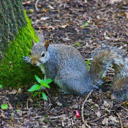 gray squirrel, animal, squirrel, Canon EOS 700D