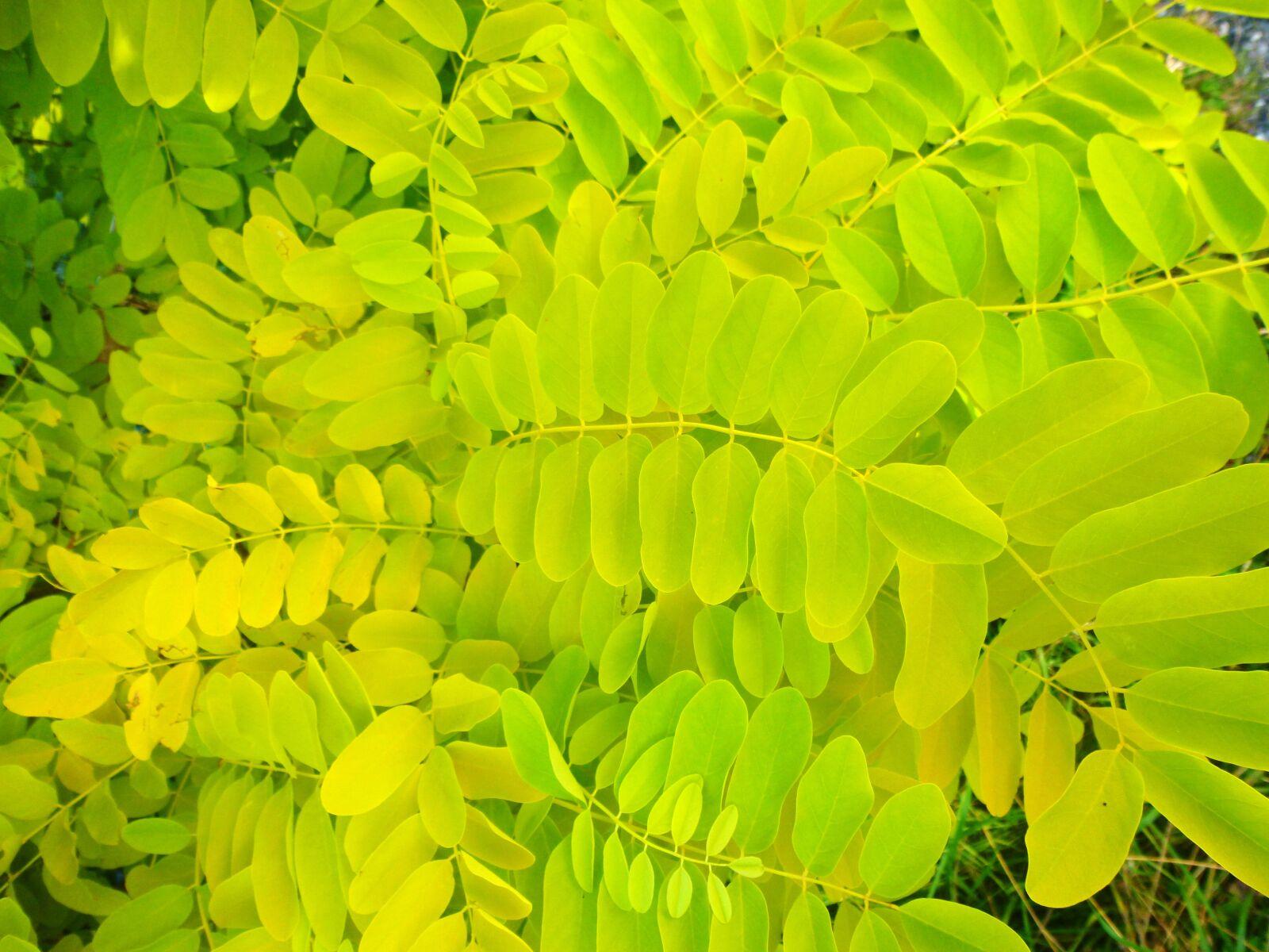 "Panasonic DMC-SZ3 sample photo. ""Leaves, willow, yellow"" photography"