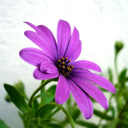 flower, daisy, purple flowers, Panasonic DMC-LS60