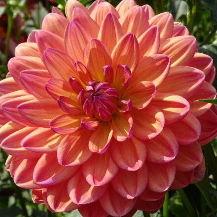 flower, garden, park, Sony DSC-QX30