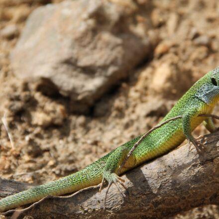 lizard, dragon, nature, Canon EOS 1100D