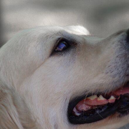labrador, dog, canine, Pentax K10D