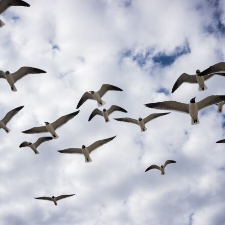 birds, flight, seagulls, Sony ILCE-6000