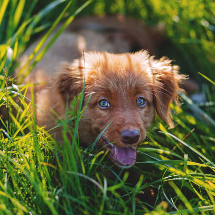 brown, short, haired, puppy, Canon EOS 6D