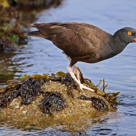 black oystercatcher, wildlife, nature, Canon EOS 6D