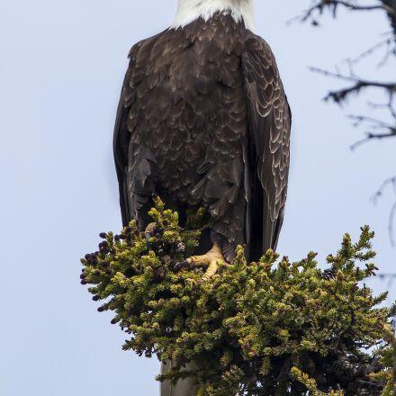 bald eagle, perched, raptor, Canon EOS 5D MARK II