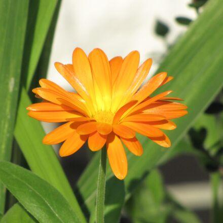 flower, orange, orange flowers, Canon POWERSHOT SX1 IS