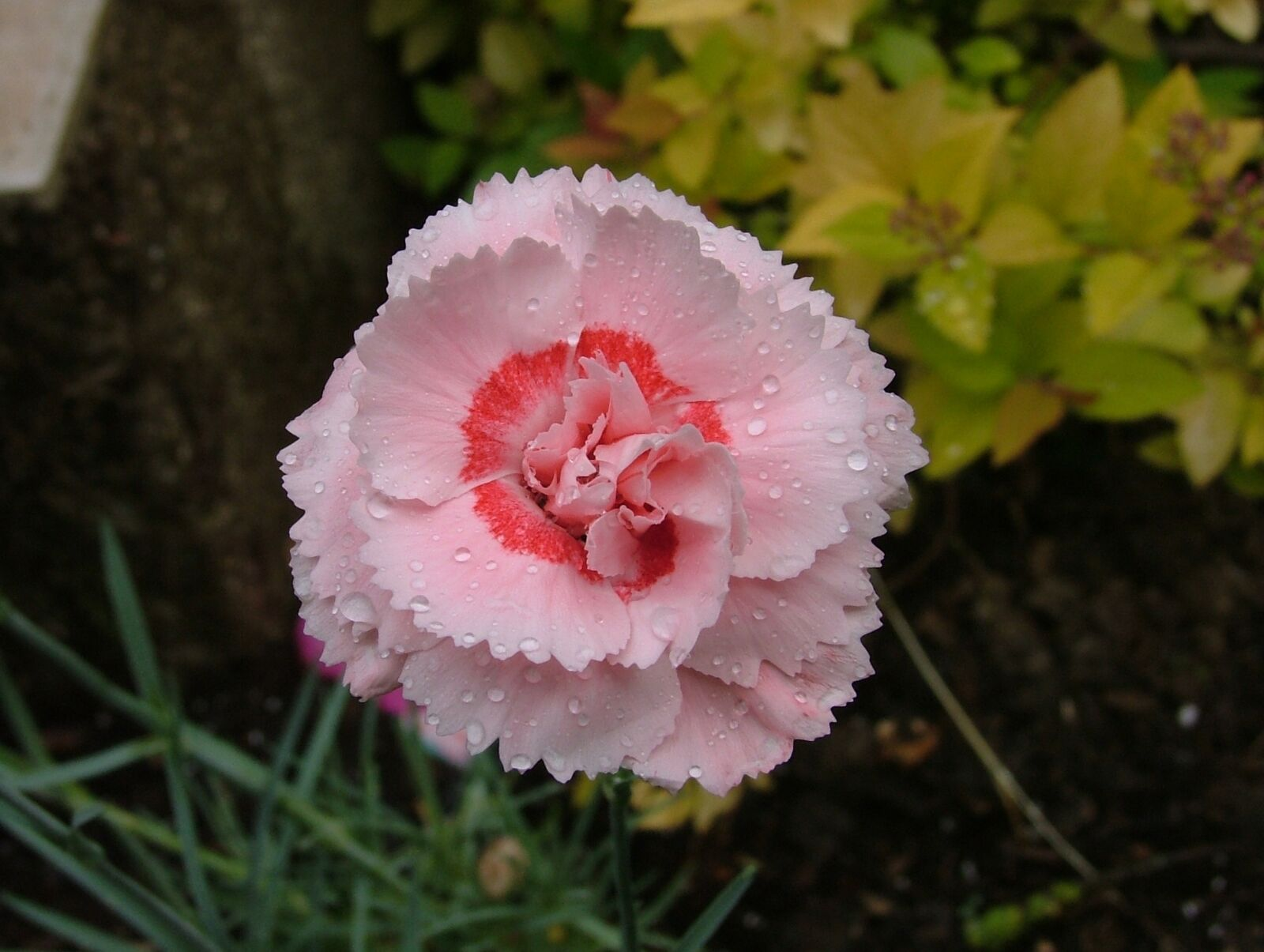 eyelet, carnation pink, flower