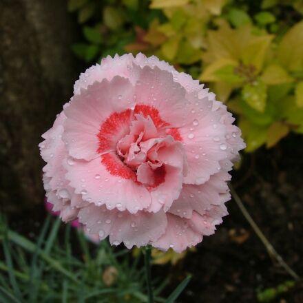 eyelet, carnation pink, flower, Fujifilm FinePix S5000