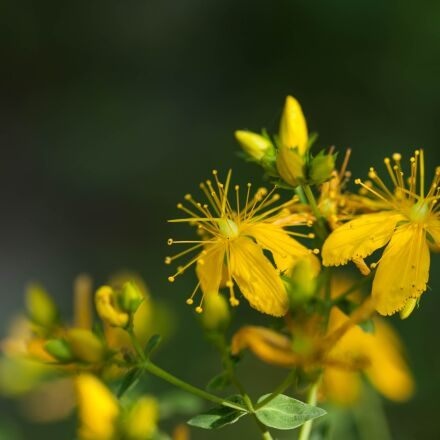 hypericum perforatum, herbaceous, saint, Canon EOS 5D MARK II