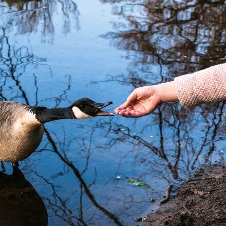 canada goose, girl, encounter, Samsung NX300M