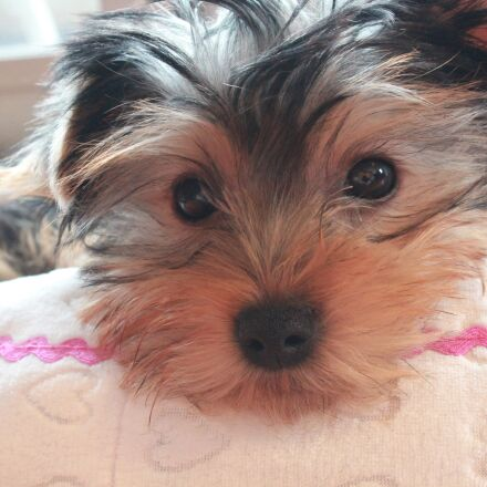 yorkshire terrier, puppy, dog, Canon EOS KISS X5