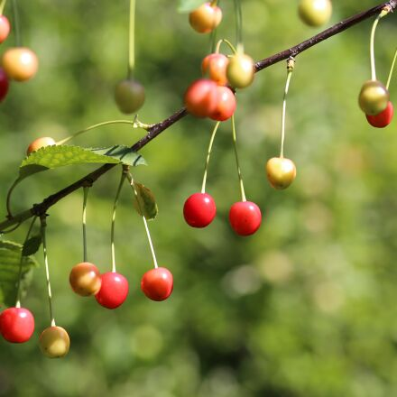 sour cherry, fruit, fresh, Canon EOS 6D