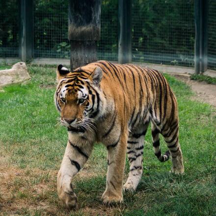 tiger, zoo, Sony SLT-A58