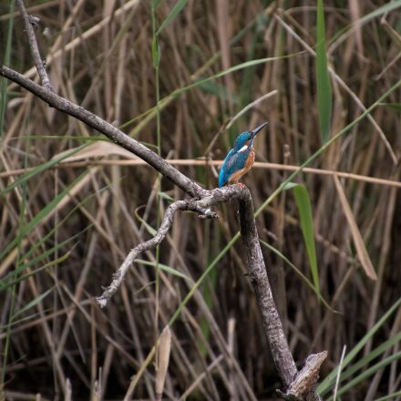 kingfisher, nature, blue, Canon EOS 70D